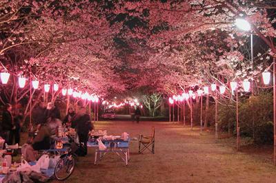 お花見の楽しみ方「夜桜」